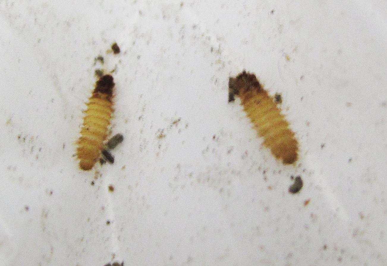 Larvae Of Carpet Beetle Plastic Car Seat Cover