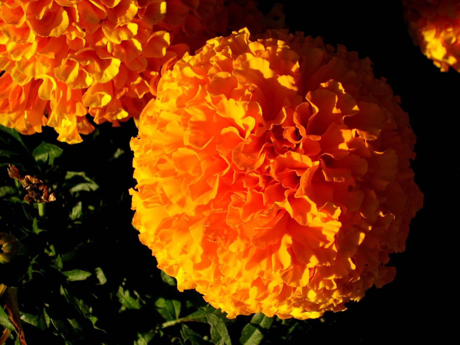 3d Love Wallpaper Wallpapers Marigold Flowers Wallpapers