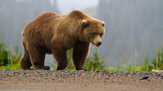 Wallpaper: Brown Bear