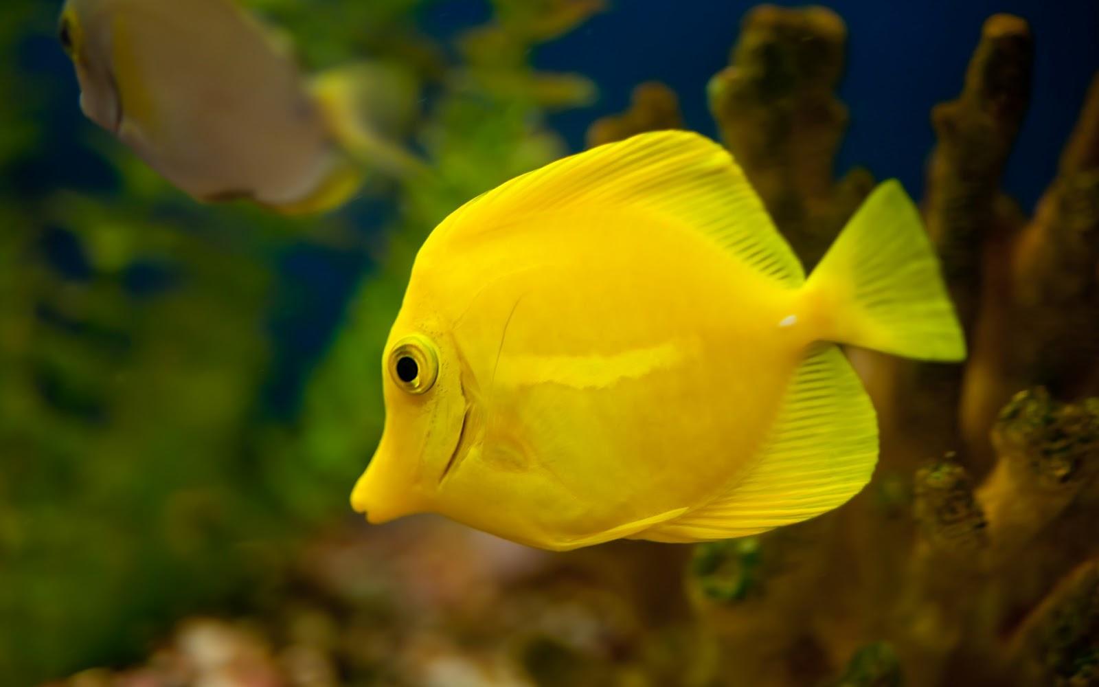 Aquarium Fish   Yellow Tang Fish Wallpaper | Animals Library