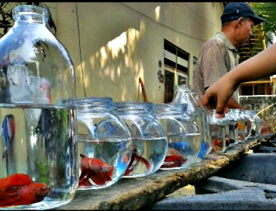 Tips cara merawat ikan hias dalam toples yang benar