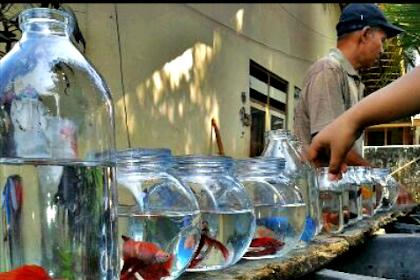 Cara Merawat Ikan Hias Dalam Toples Dengan Benar