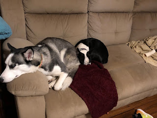 husky dogs puppies