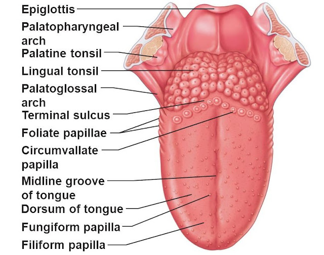 Enlarged Circumvallate Papillae Pictures, Causes, Treatment, Cancer