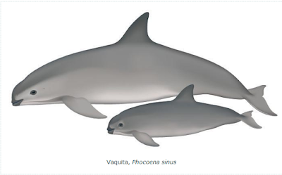 Vaquita marina esquena