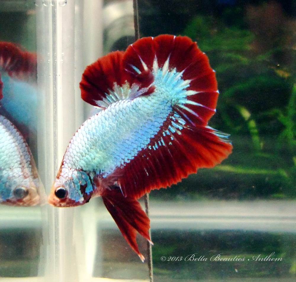Pg S Betta Store Awesome Combi Blue Sky Red Halfmoon