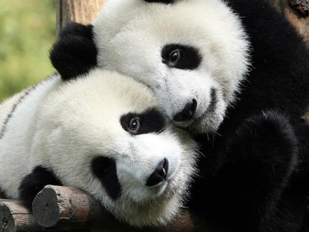 Pandas Tiernos Anime