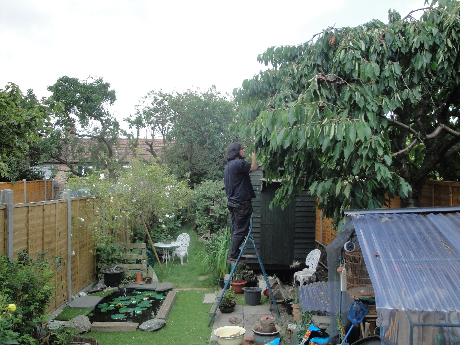 Bloke up a ladder picking the heck outta some cherries.