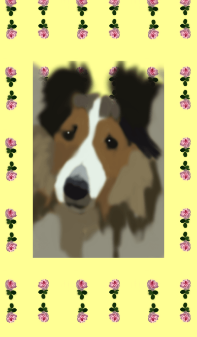 Shetland Sheepdog2