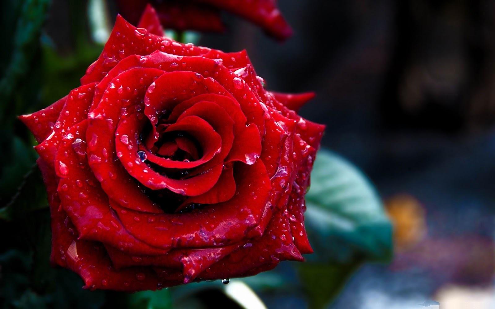 rose day wallpaper download