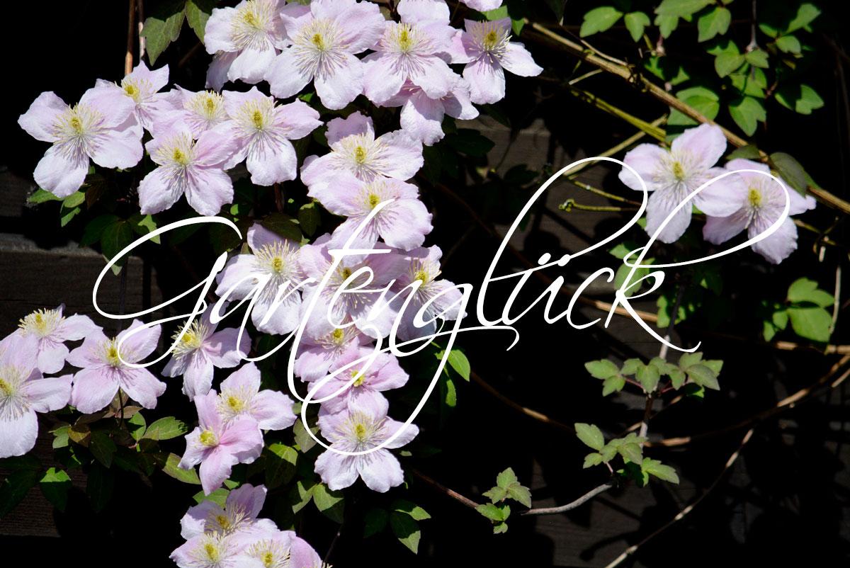 Gartenglück, Clematis Montana, Gartenblog