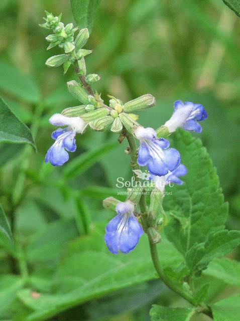 Salvia pallida