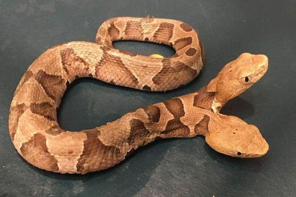 Viral Ditemukan Ular Berkepala Dua Copperhead Medusa