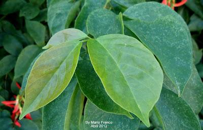 Folhas do Camptosema grandiflorum
