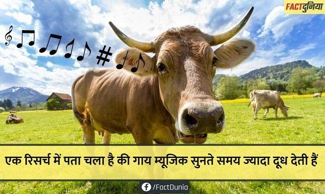 nature-animal-fact-hindi-cow listening music