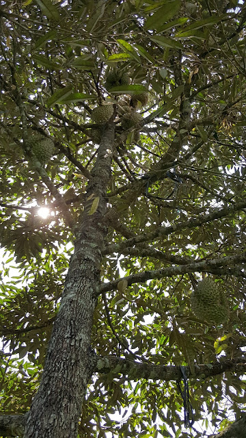 Cây sầu riêng Thái này năm nay ra quả rồi, năm ngoái chỉ được một trái