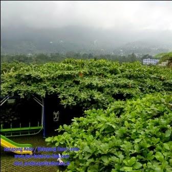 Jual Bibit Pohon Ketapang Kencana | Ketapang Daun Lebar | Ketapang Daun Besar | Jual Ketapang Kebo