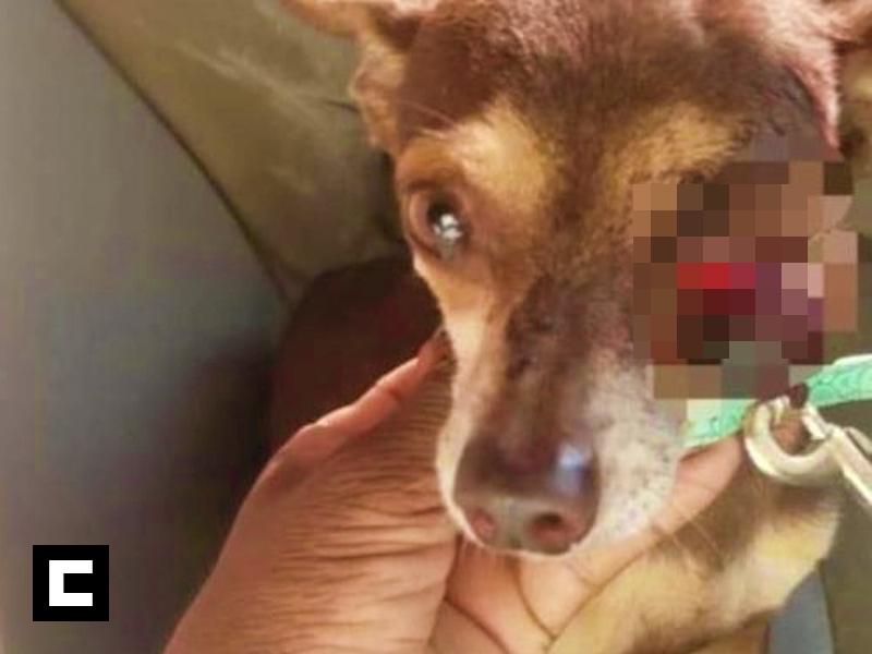 Se querellan contra vecino que sacó ojo a perrito en Puerto Plata