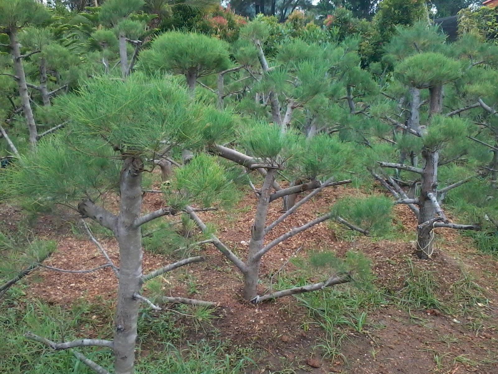 JASA TUKANG TAMAN Pohon Bonsai Desain Taman Minimalis Tukang