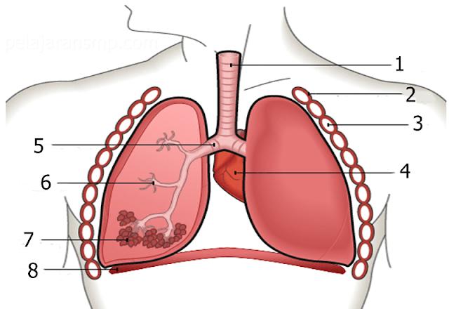 30 Soal Materi Sistem Pernapasan Manusia, Faring, Laring, Trakea, Paru-paru, dan Proses Pernapasan Berserta Kunci Jawabannya