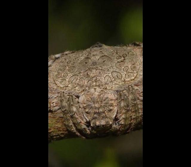 Aranha camuflada em galho de árvore