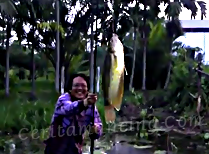 Mancing Ikan Sepat Siam Catch And Release