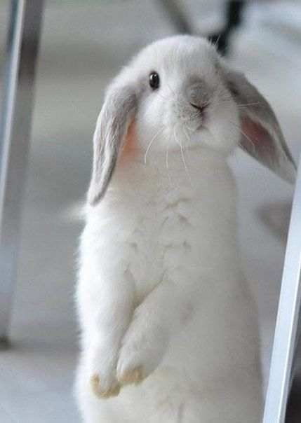 Adorable gorgeous fluffy white bunny with long floppy ears
