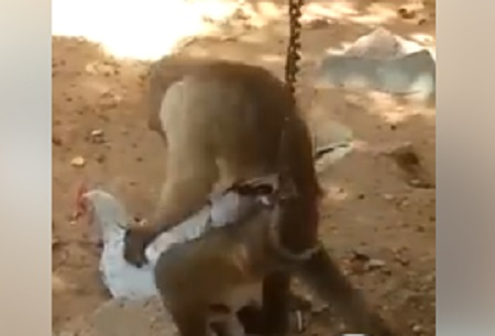 Monkey 'Caught' on Video 'Raping' A Chicken