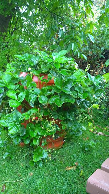 dauertragende Erdbeeren (Ostare) tragen noch im September (c) by Joachim Wenk