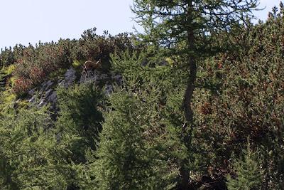 Rupicapra rupicapra – Chamois (Camoscio alpino).
