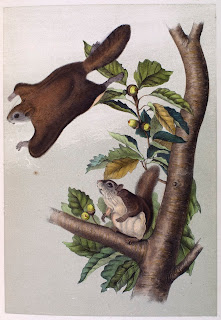 A color illustration of two flying squirrels on a branch.