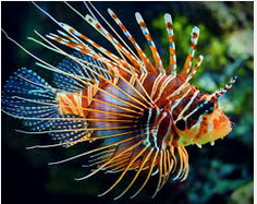 Ikan Hias Air Laut Lionfish