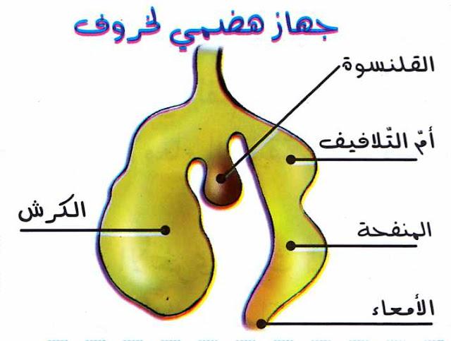 مسار الأغذية وتحولها داخل الأنبوب الهضمي لحيوان عاشب (الخروف)