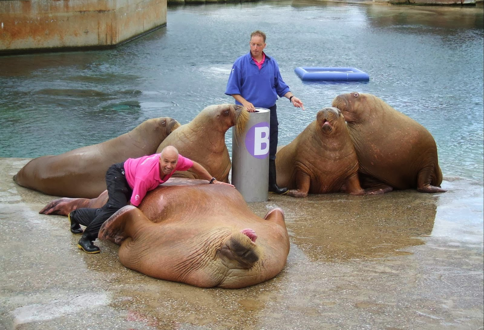 Walrus Penis Picture 19