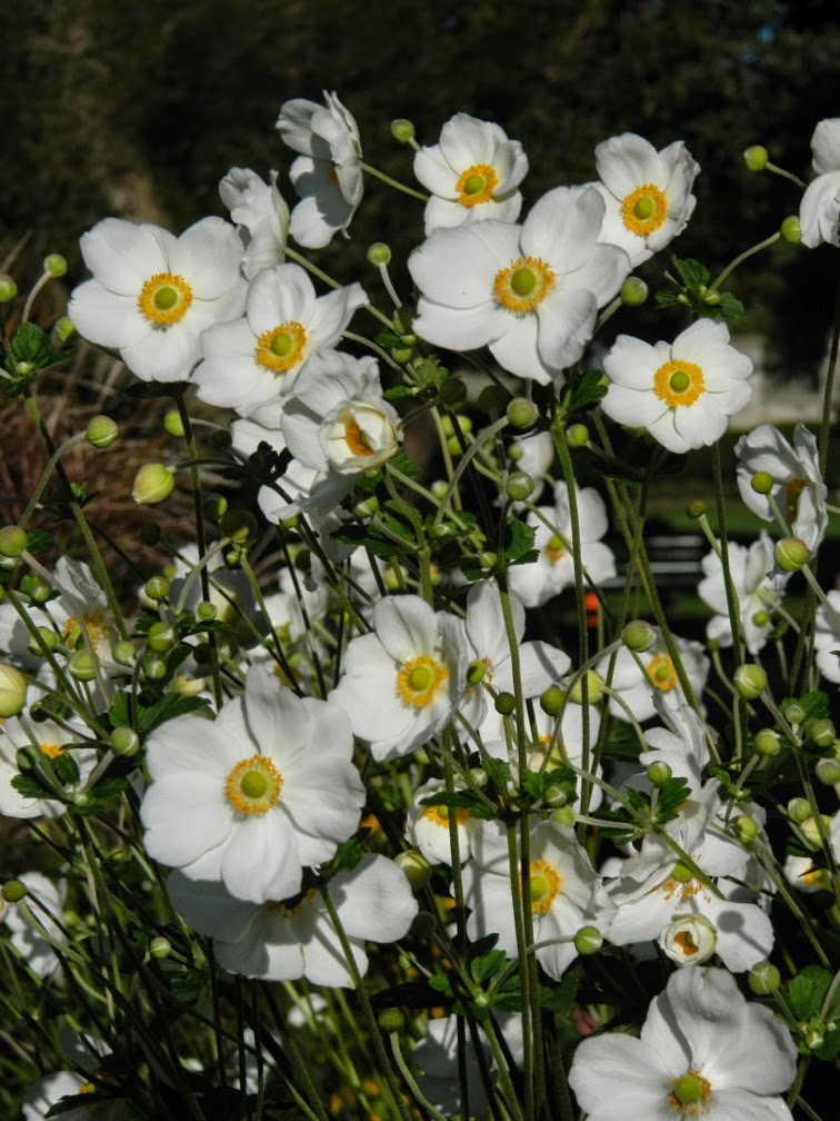 Anemone × hybrida Honorine Jobert Japanese anemone by garden muses-not another Toronto gardening blog
