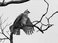 Akhir Riwayat Burung Garuda Beri