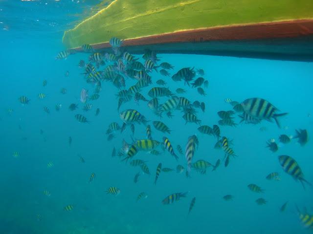 ikan betok laut pahawang