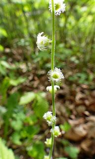 Mitrelle à deux feuilles - Mitella diphylla