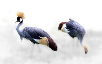 Wallpaper: Grey Crowned Crane