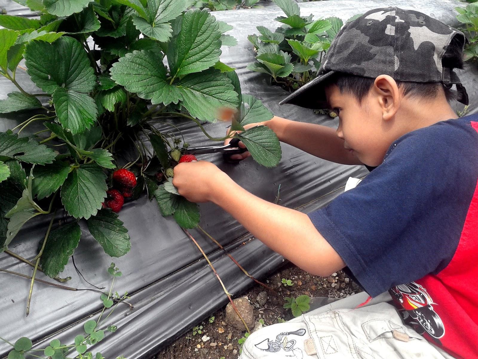 Kebun Strawberry di Brastagi, Tanah Karo