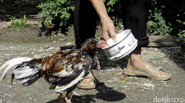 Aneh ! Telah 6 Hari Disembelih, Ayam di Pekalongan Ini Belum juga Juga Mati