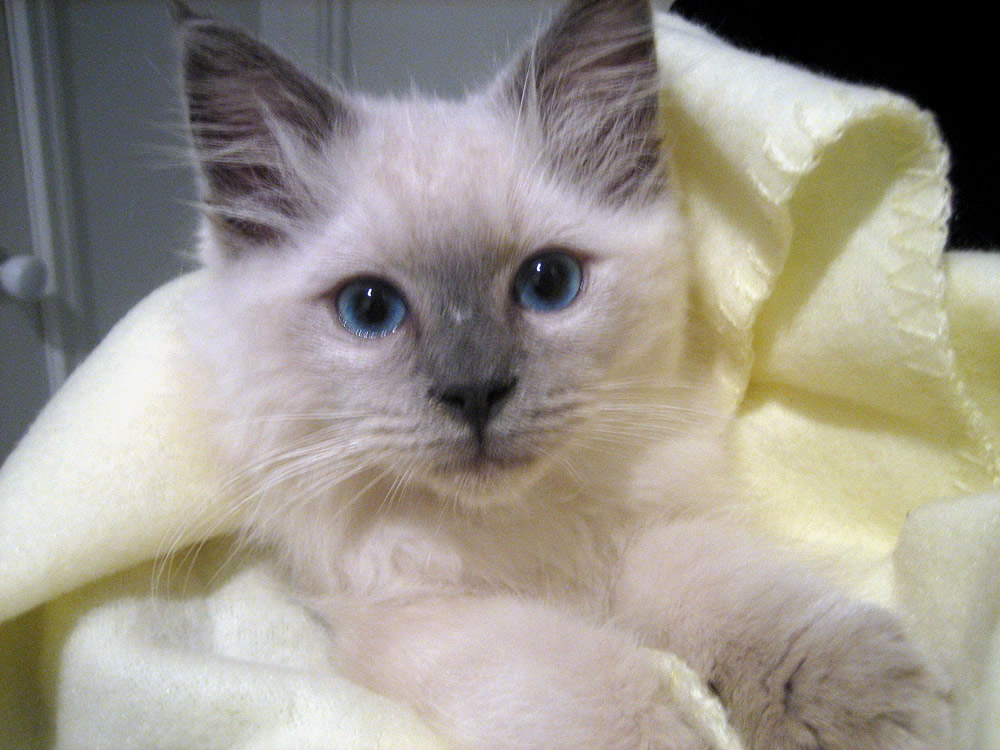 Ragdoll Cute Cats Pets Cute And Docile
