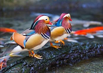 Bebek Mandarin Jantan