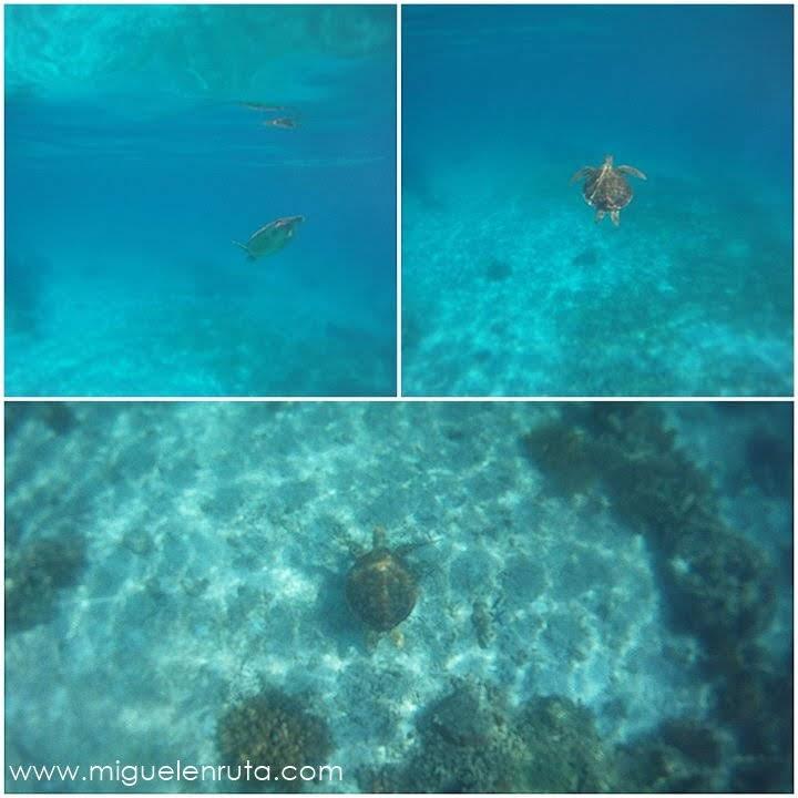 Tortugas-marinas-Balicasag