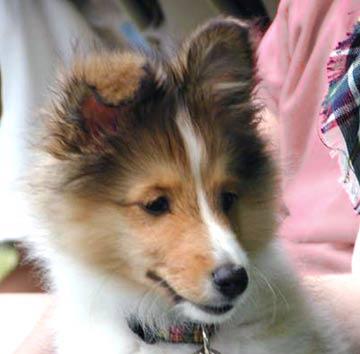 Cute Puppy Dogs Shetland Sheepdog Puppies