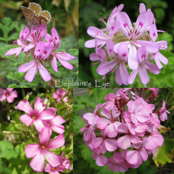 Pelargoniums and Oxalis