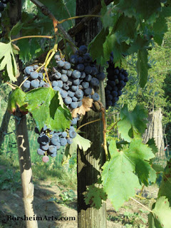 Grape harvest in Tuscany