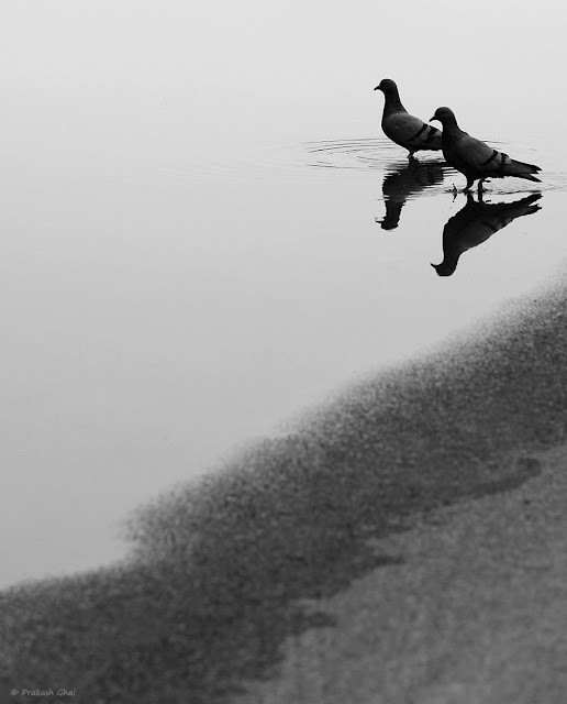 A Simple Minimal Composition of the Reflection of Two Pigeons in Water in Black and White. Photo taken via Canon 100mm Prime Macro L Series F2.8 Lens mounted on Canon 600D Dslr Camera.