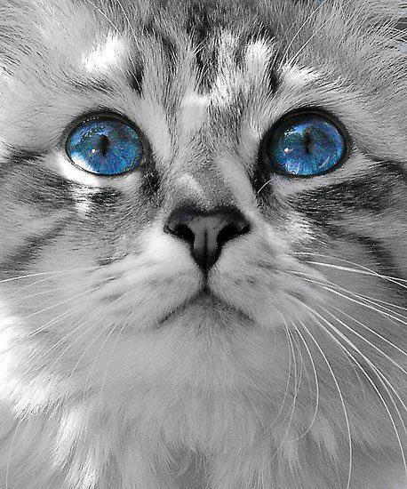 gato ojos azul precioso