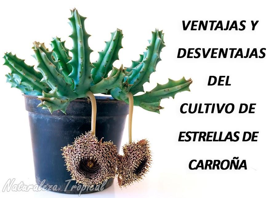 Un ejemplar florecido de Huernia hystrix
